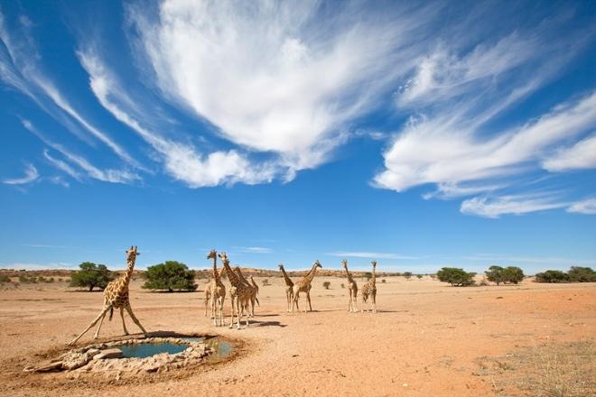Здесь обитают жирафы