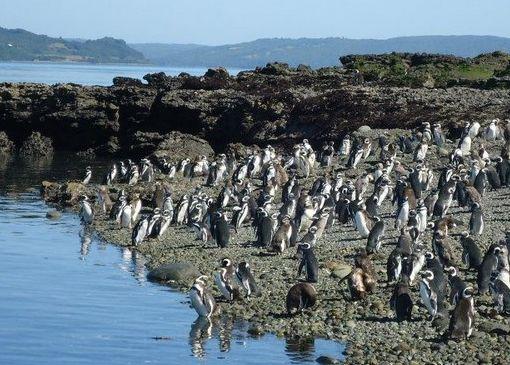 В Кейлене можно отправиться на экскурсию к острову пингвинов