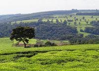 Чайные плантации в Керичо