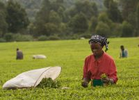 Сбор урожая чая в Керичо