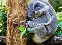 Коуну Коала парк, взрослая коала