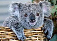 Коуну Коала парк, ребёнок коалы