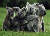 Милое семейство коал