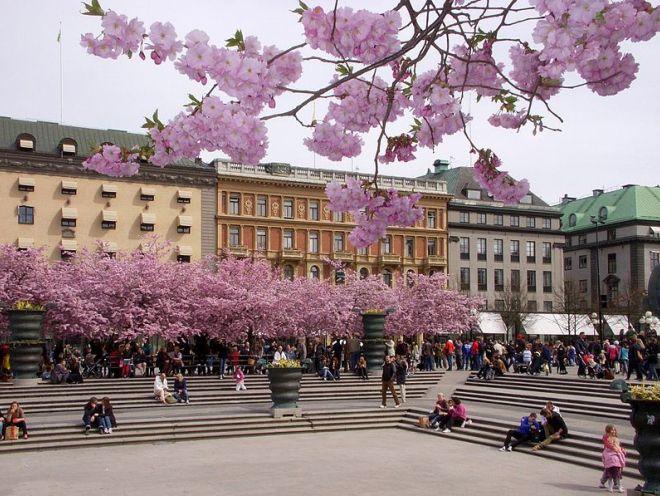 Цветение сакуры в парке