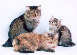мачке узгајају Курилијанску бобтаил