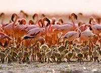 На озере Натрон малые фламинго выводят птенцов