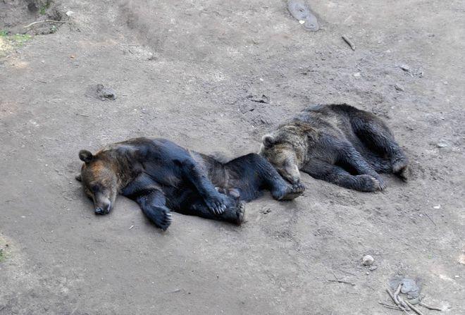 Медведи в Лигатне