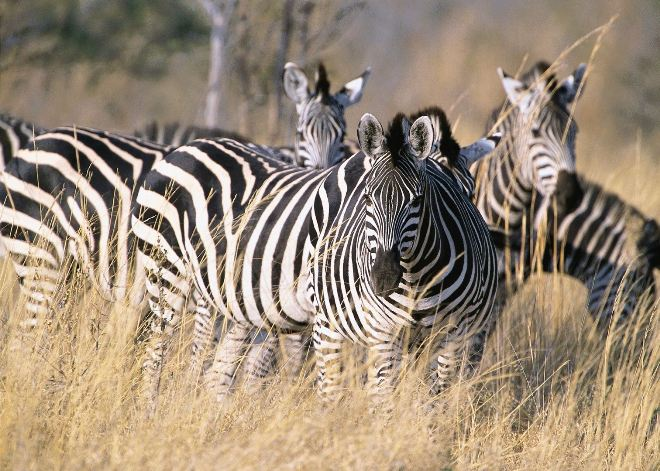 Дружелюбные зебры