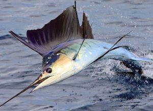 Рыба парусник предмет промысла местных рыбаков