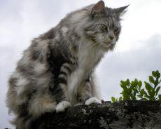 велике мачке мачке