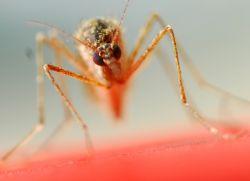 objawy malarii