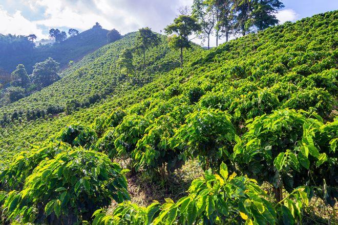Кофейная плантация в Манисалесе