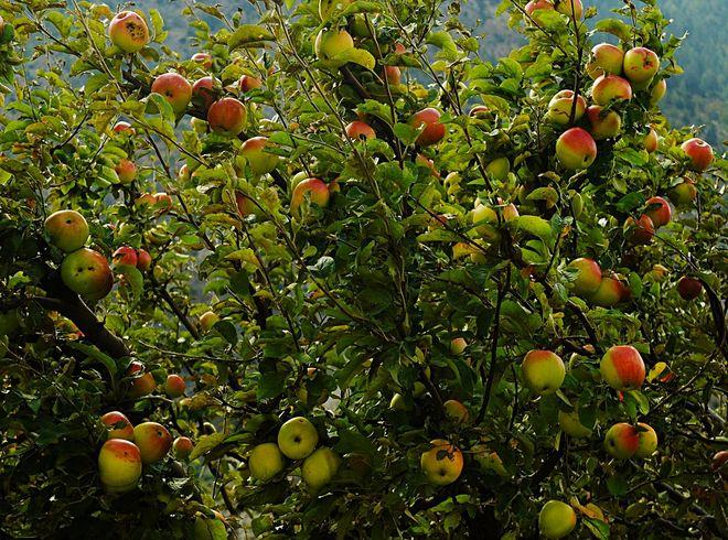 Яблоневый сад в Марфе