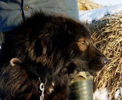 Монголски пастирски пси