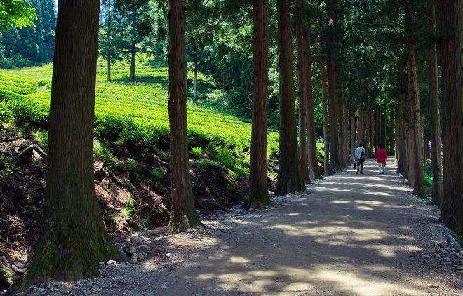 Парк вокруг чайных плантаций