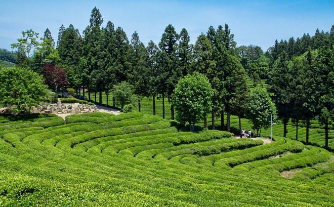 Чайные плантации уезда Посон