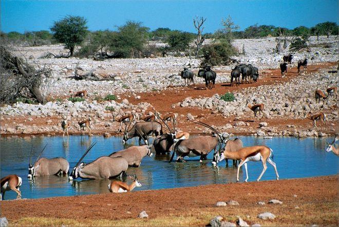 Водопой в национальном парке Этоша, Намибия