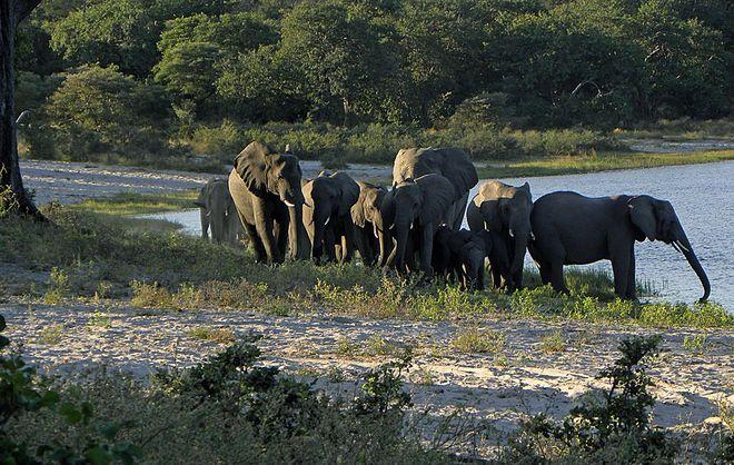 Стадо слонов в национальном парке Бвабвата