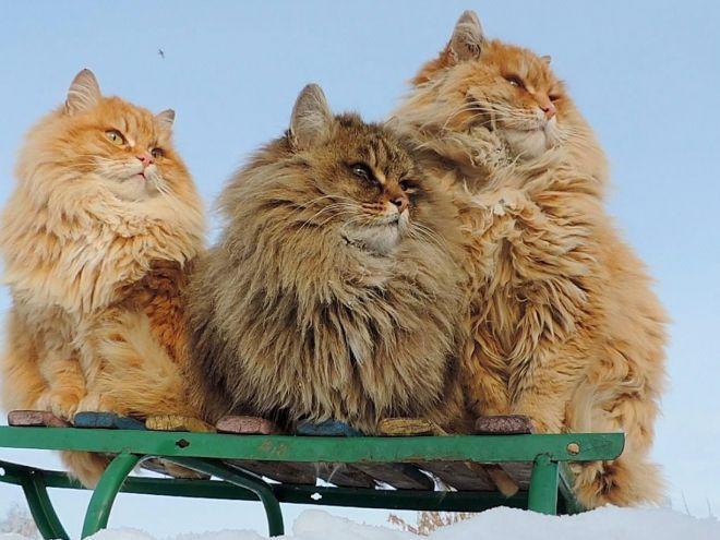 Sisa velike sise i maca