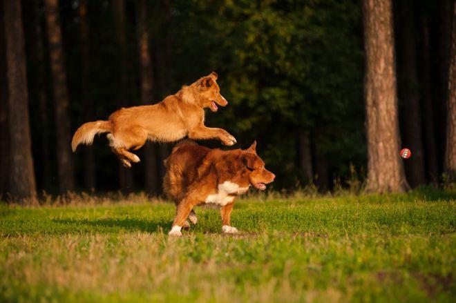 Собака новошотландский ретривер - характер