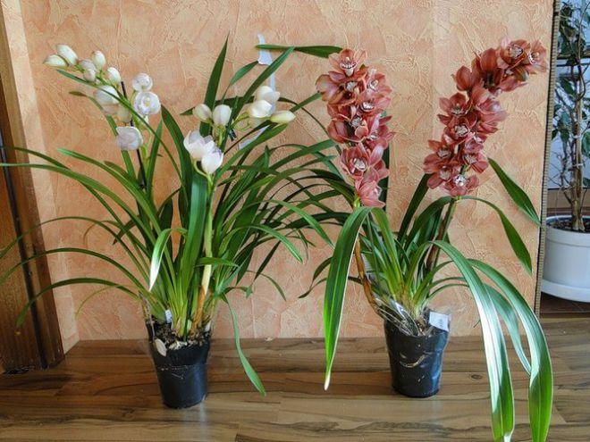 Орхидея цимбидиум - уход в домашних условиях
