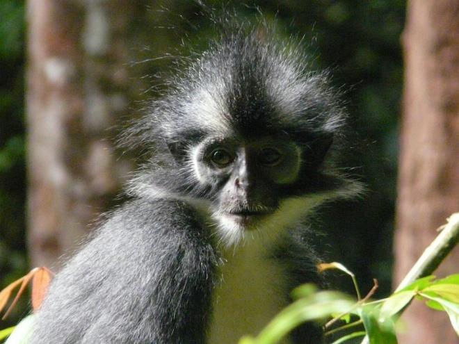 Примат тонконел