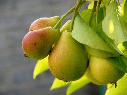 pielęgnacja sadzonek gruszy