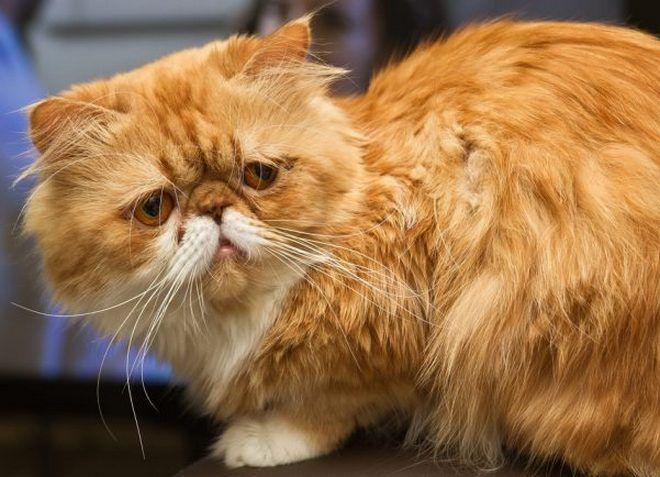 персидские кошки описание породы