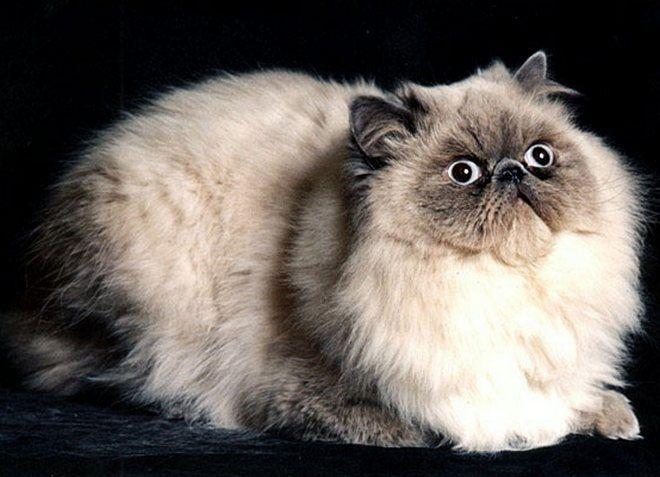 персидская кошка колор поинт
