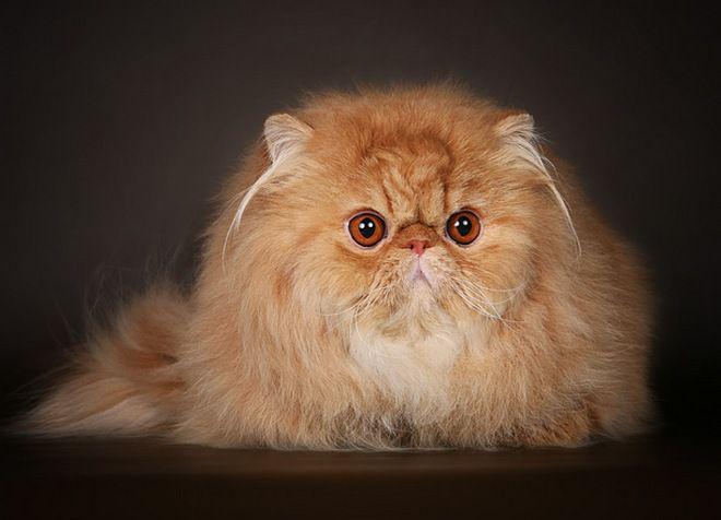 длинношерстные кошки персидской породы