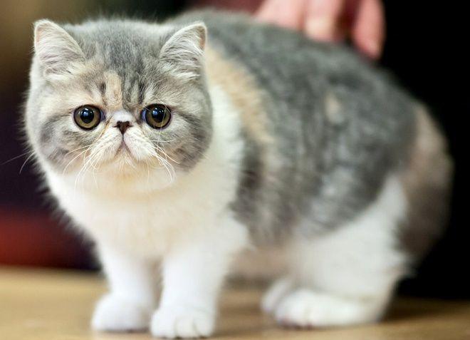 персидская короткошерстная кошка