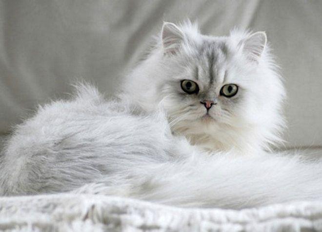 персидская кошка уход и содержание