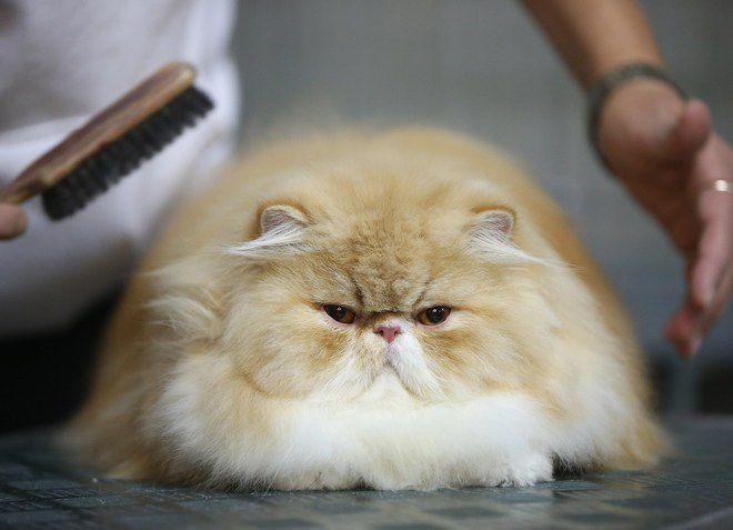 как ухаживать за персидской кошкой