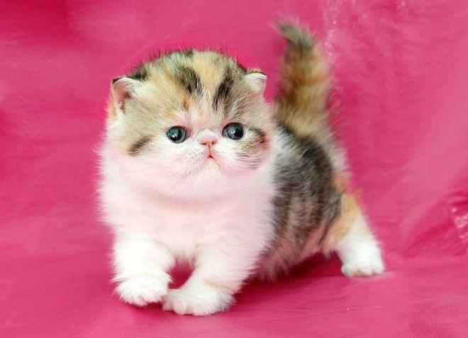 уход за персидскими котятами