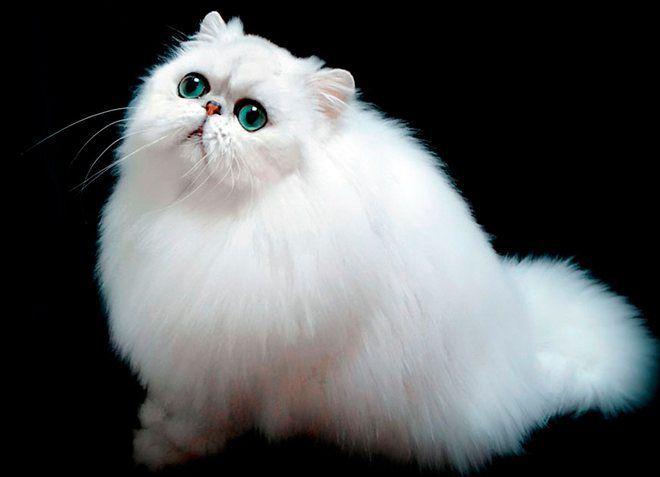 персидская кошка происхождение породы