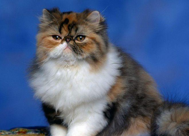 персидская кошка стандарт породы