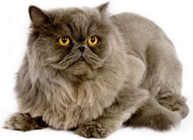 лиловая персидская кошка