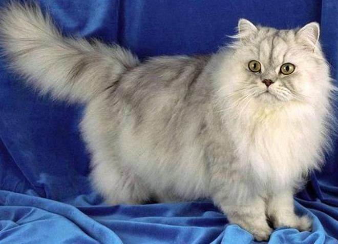 персидская кошка окрас шиншилла