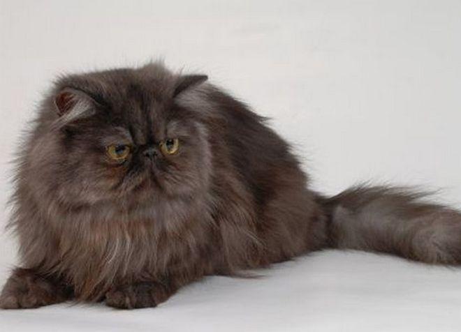 дымчатая персидская кошка