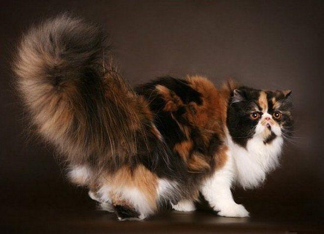 полосатая персидская кошка