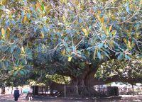 Дерево омбу