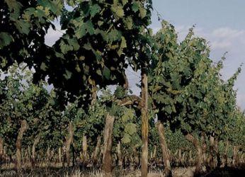 В Пуэнте-Альто идеальный климат для выращивания винограда