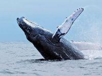 Горбатые киты в Пуэрто-Лопес