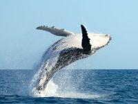 Горбатый кит у берегов Эквадора