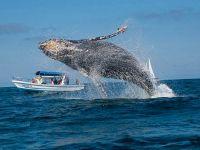 Наблюдение за горбатыми китами в Пуэрто-Лопес
