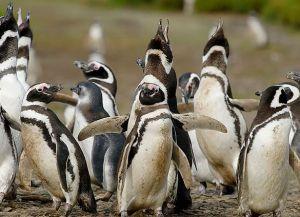 Магелановы пингвины