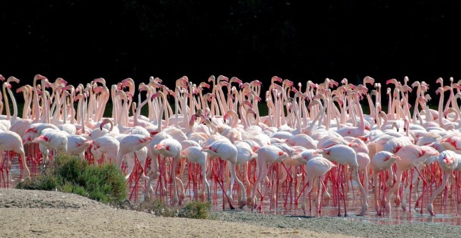 Большая популяция фламинго