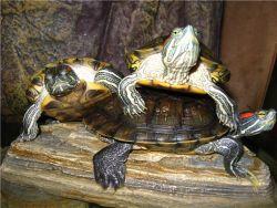 na področju rdeče-želve želve