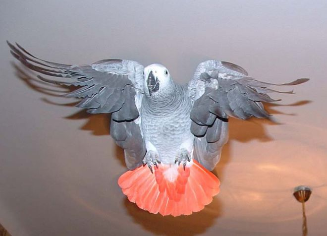 Попугай жако в домашних условиях