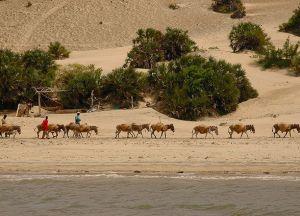 Экскурсии на верблюдах по острову Ламу